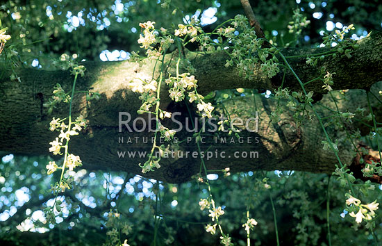 Kohekohe (Dysoxylum spectabile) tree in heavy flower, Waikanae, New Zealand (NZ) stock photo.