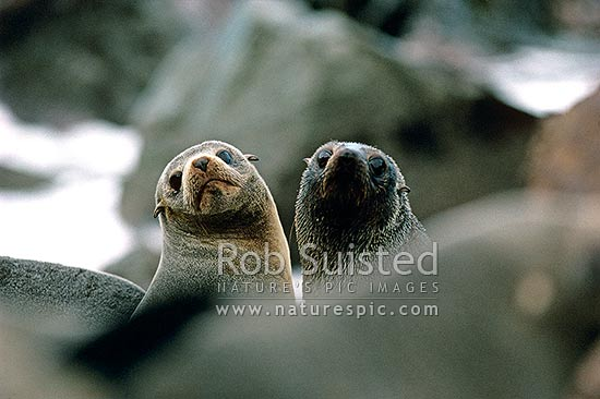 Two female NZ Fur seals (Arctocephalus forsteri, Otariidae), Kaikoura, New Zealand (NZ) stock photo.