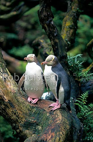 Yellow eyed penguins (Megadyptes antipodes) in Rata Forest, Enderby Island, Enderby Island, Auckland Islands, NZ Sub Antarctic District, NZ Sub Antarctic Region, New Zealand (NZ) stock photo.