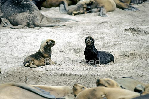 2 Hooker's sea lion (Phocartos hookeri) pups - 2 weeks old, Sandy Bay, Enderby Island, Auckland Islands, NZ Sub Antarctic District, NZ Sub Antarctic Region, New Zealand (NZ) stock photo.